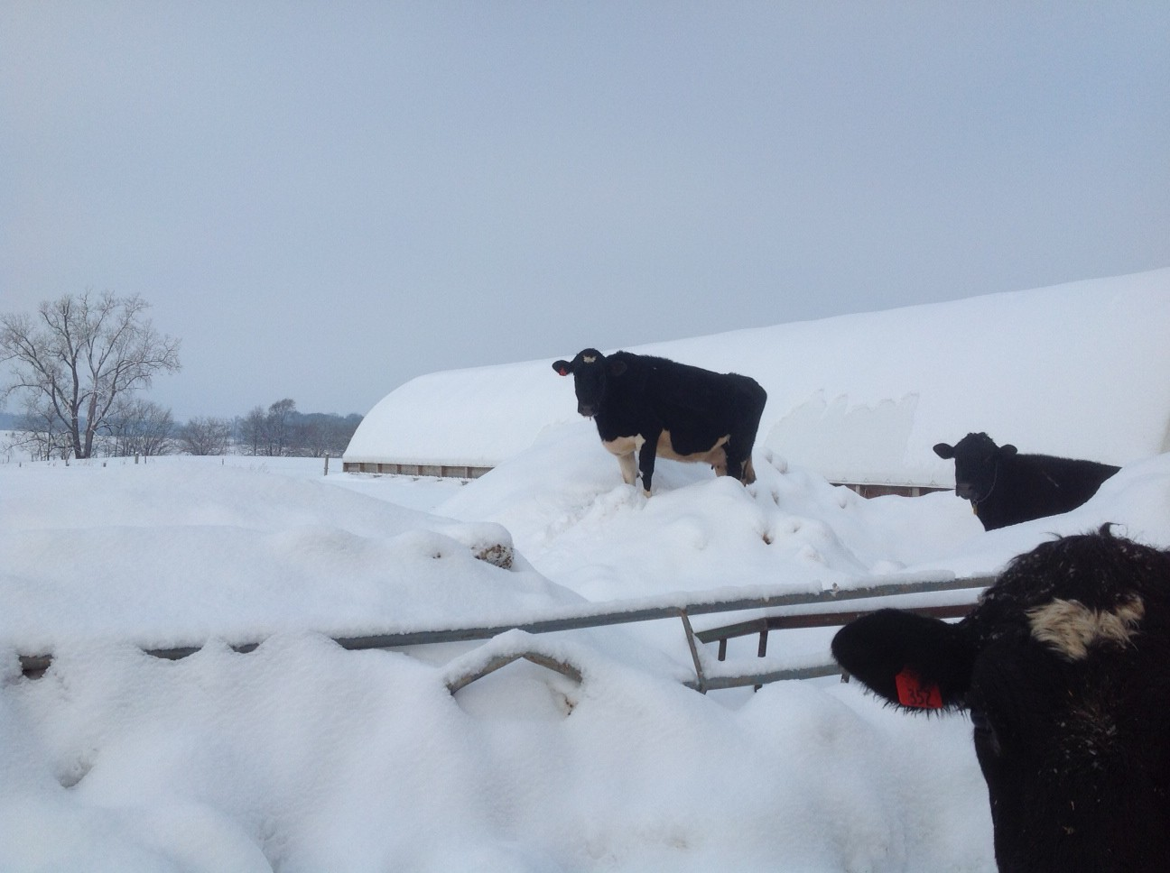 Family of Farmers: Caring for Cows in the Winter