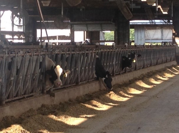 cows in an airy barn