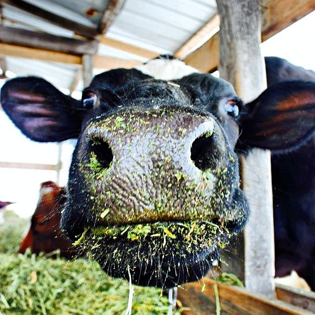 cow face with green grass 2014