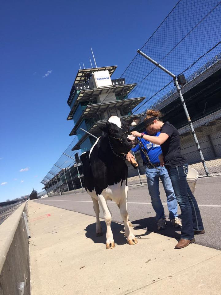 dairy cow, indy500