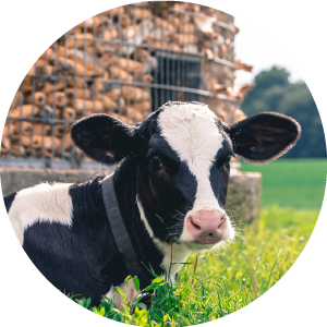 ADAI_Hoosier-Dairy-Farmer-Page_facts-images_dairy-cows.png